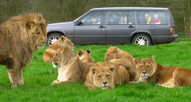 Longleat-Respond-To-Their-Decision-To-Kill-SIX-Of-Their-Lions.jpg