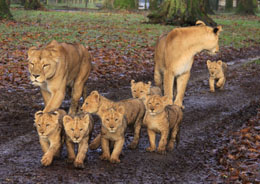 Web_news_Lion_cubs_side1.jpg